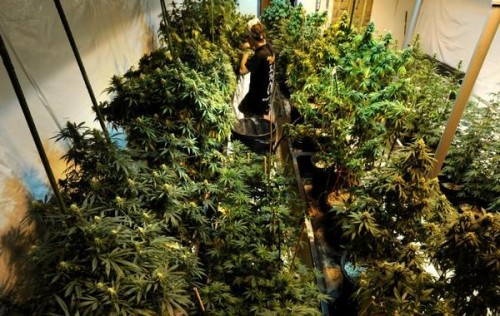 A Colorado medical marijuana grower tends plants in a rented local warehouse. (Joe Amon, Denver Post file)