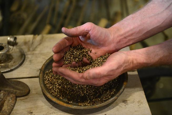 Ryan Loflin handles a batch of a particular hemp seed that produces vast amounts of hemp oil. (AAron Ontiveroz, The Denver Post)