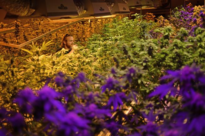 Pot industry reacts to Denver's new scope on pesticides