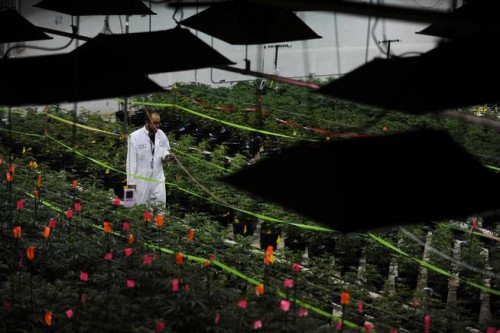 A LivWell employee inspects marijuana plants on Aug. 13 at a facility in Denver. LivWell operates one of the largest growhouses in the country. (Denver Post file)